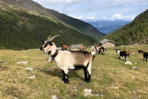 Goats in the mountains